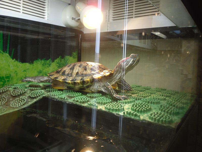 Как сделать остров для красноухой черепахи