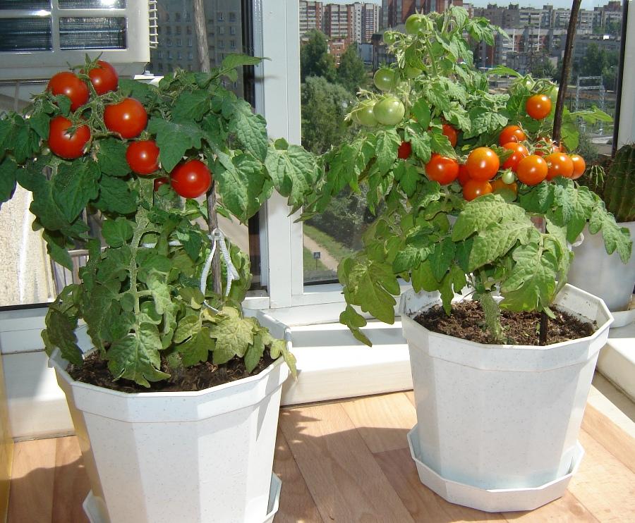 Сорт помидоров для домашнего выращивания 66