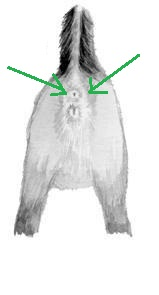 analnoe-otverstie-u-chihuahua