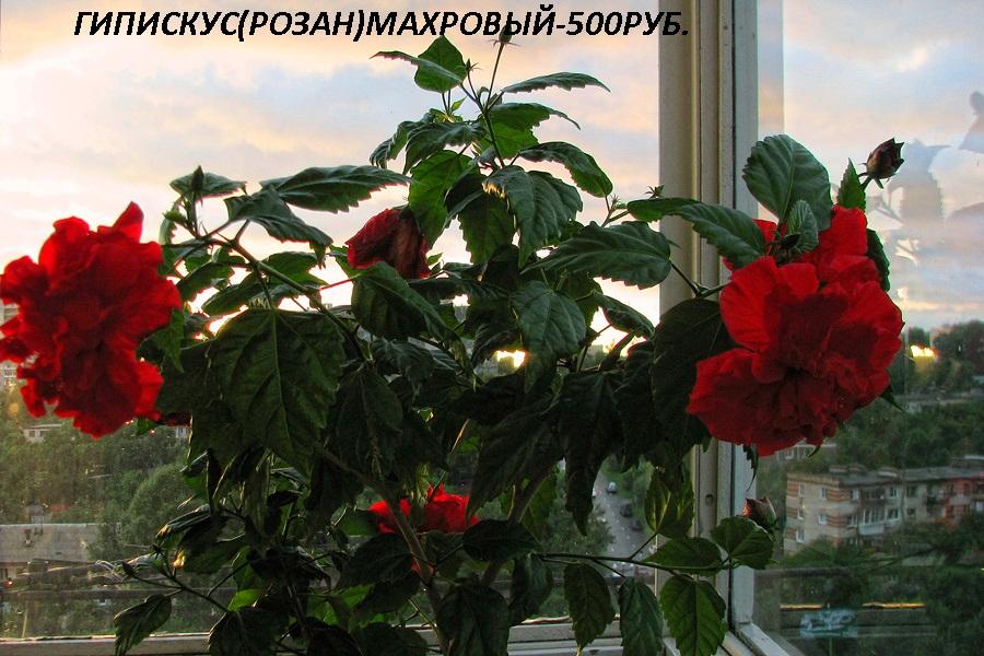 Гибискус, китайская роза - Комнатные растения и цветы ...