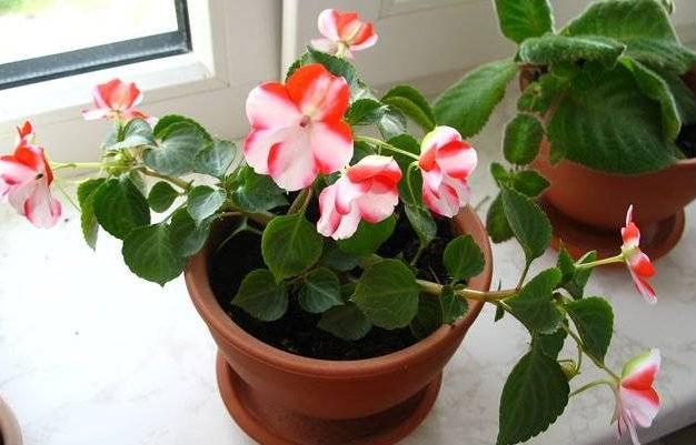 Бальзамин домашний цветы