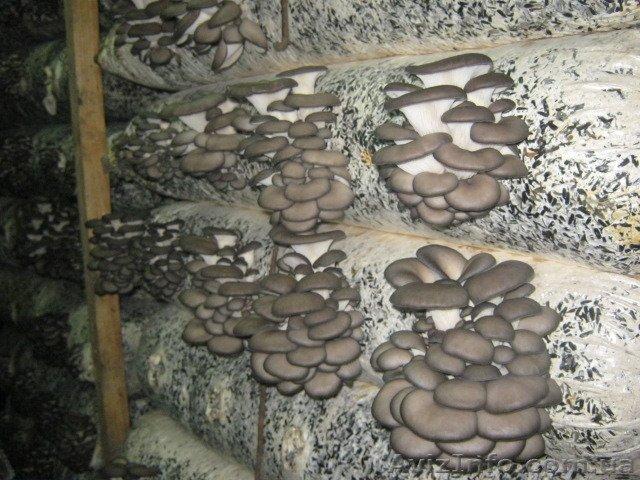 Производство грибов вешенка в домашних условиях