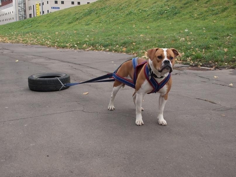 Шлейка буксировочная для крупной собаки / Новейший сайт новейших изображений