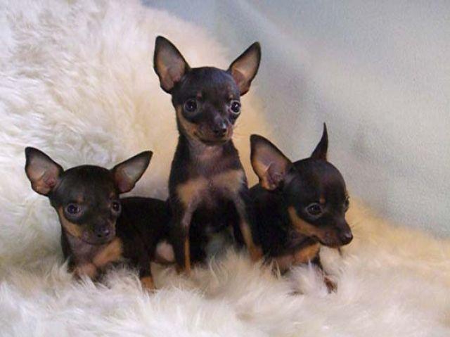 На сегодня престижней и реже собачки, чем карманная, нет в мире.  Стоимость такого щенка растет с каждым...