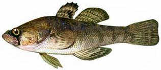 Ротан (головешка) - рыба с большой приплющенной головой, огромным...
